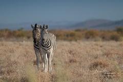 Mit Zebras Auge in Auge